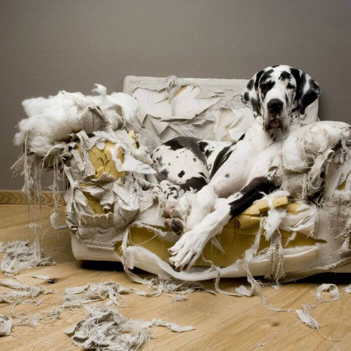 Dalmatian Dog On Destroyed Sofa
